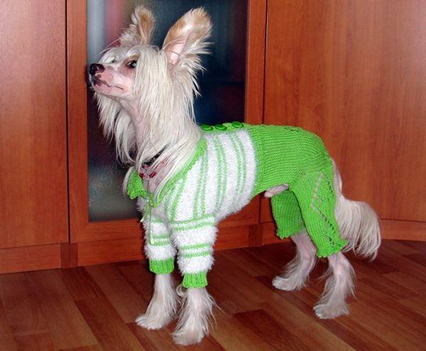 Вязаный комбинезон для собаки.