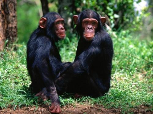 Смешные обезьянки) Прикольные ...: fun.tochka.net/pictures/6136-smeshnye-obezyanki