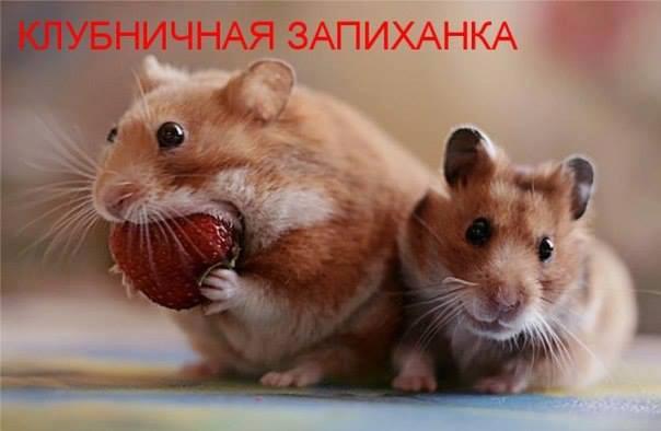 aнекдот про хомячкa: