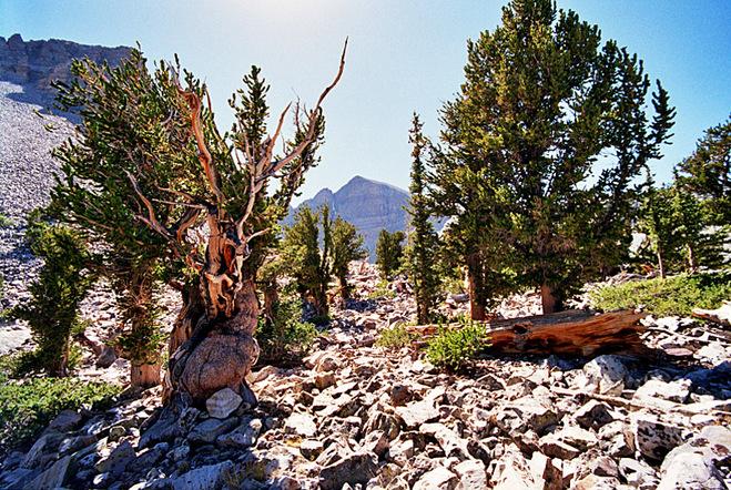Древнейший сосновый лес на планете
