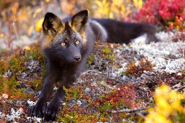 Няшные чёрно-бурые лисицы (чернобурка)