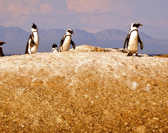 Де зустріти пінгвінів: Пінгвіни в Африці - Очковий пінгвін