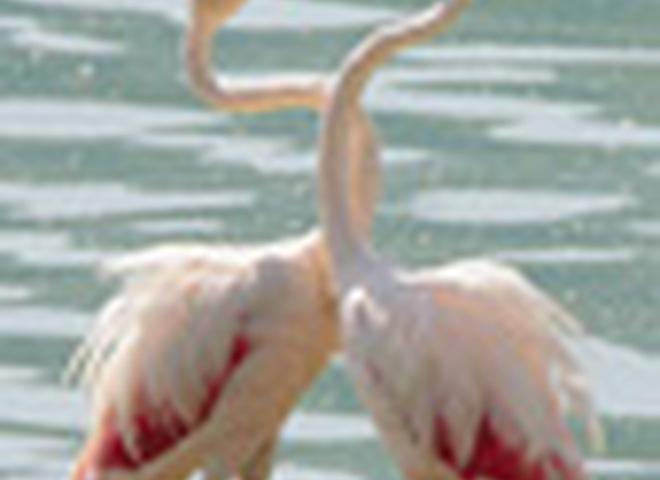 Фламинго-геи
