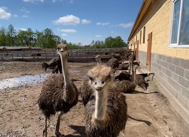 Ясногородская страусиная ферма