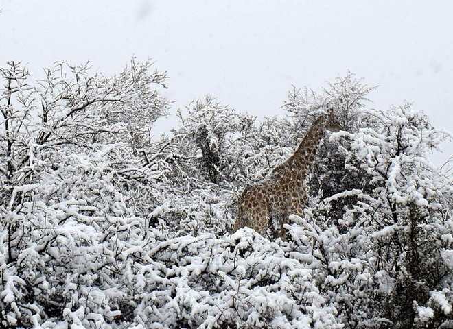 Африка в снігу