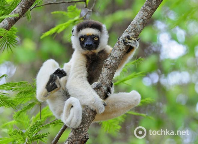 Де побачити лемура. Мадагаскар