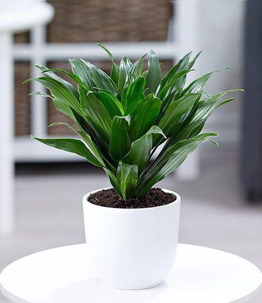 Невибагливі рослини для дому: драцена