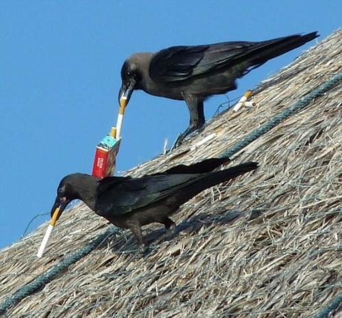 Капля никотина для ворон