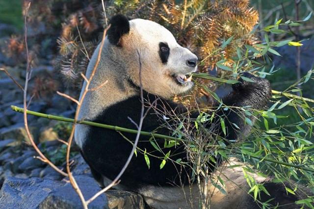 Де побачити панду: зоопарк в Единбурзі, Шотландія
