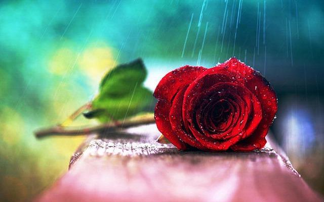 Обои для рабочего стола Роза под дождем на oboi.tochka.net
