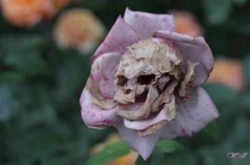 Аццкая роза