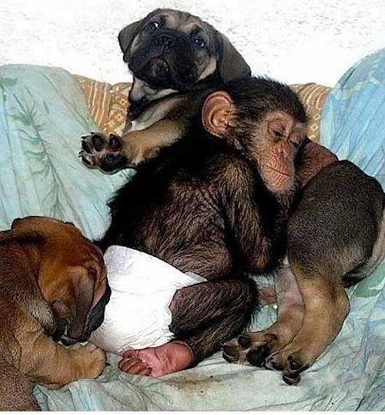 Трогательные фото шимпанзе и собаки