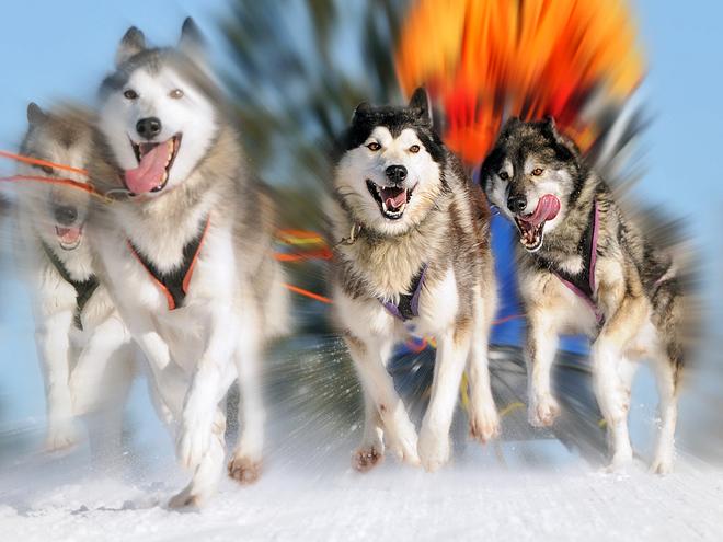 Катання на собачій упряжці