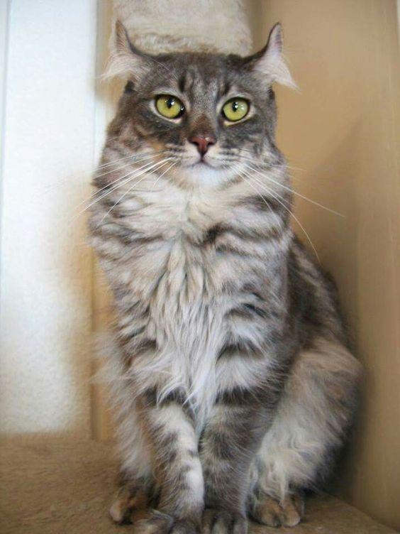 Самые смешные коты: фото породы американский керл