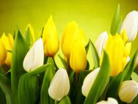 Солнечные тюльпаны HD