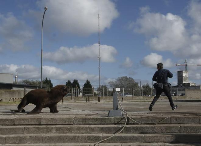 морські леви в Аргентині