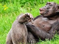 Балдеющая обезьяна на рабочий стол