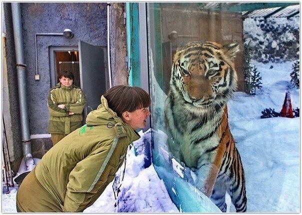 Величественный тигр немного смущен
