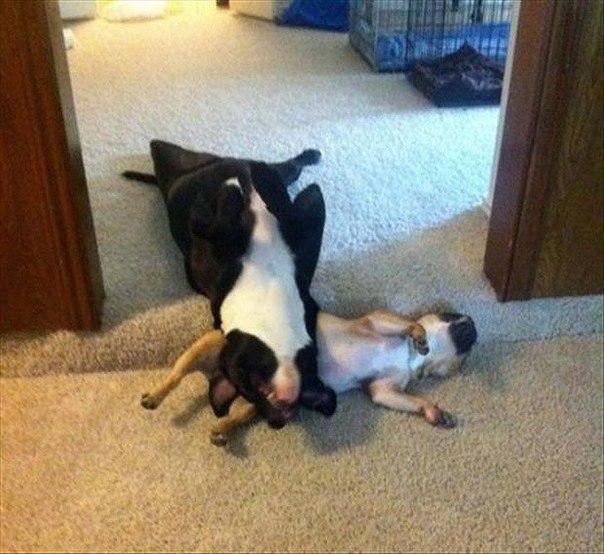 Необычные собачьи позы для сна