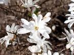 Где в Украине цветут магнолии