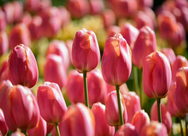 «Вокруг света»: В Киеве открывается ежегодная  выставка тюльпанов