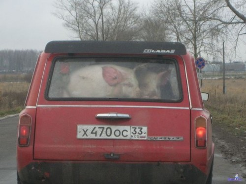 Перевозка свиней