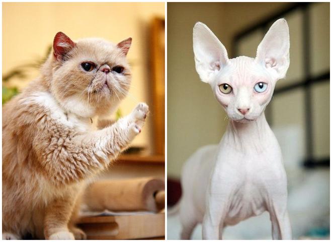 Самые смешные породы котов: от лысых до тех, у кого ну очень короткие лапки
