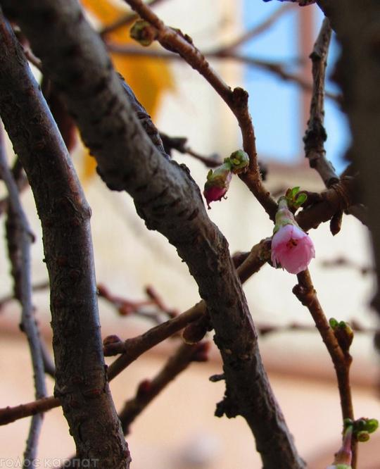 Фотофакт: на Закарпатті в листопаді зацвіла сакура