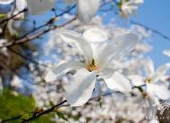Де в Україні цвітуть магнолії