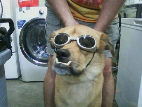 Быдло собака