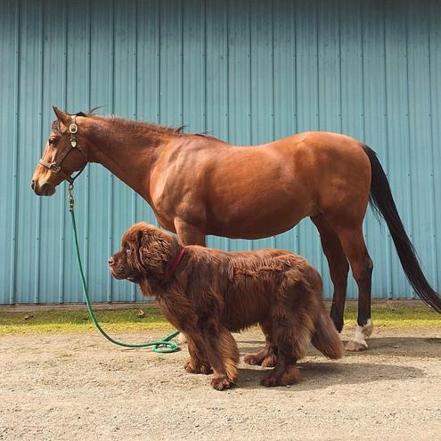 Собаки и лошадь