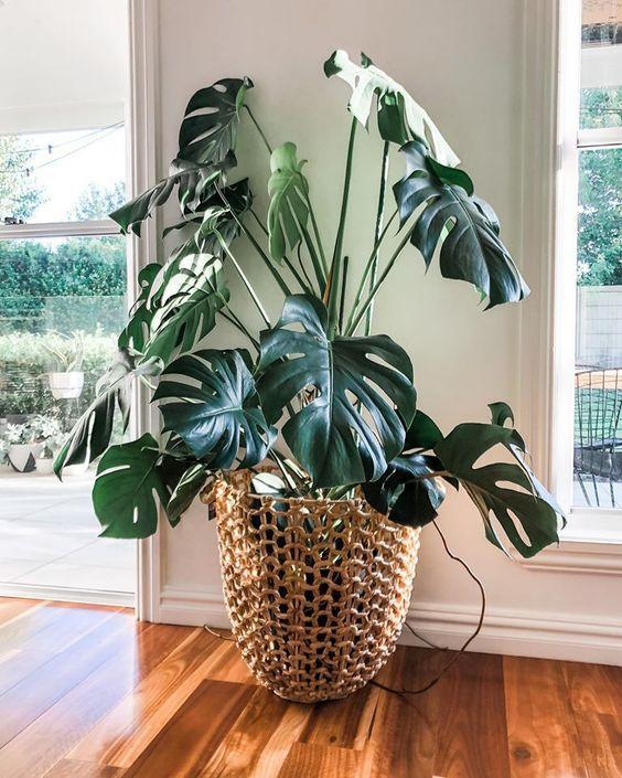 Неприхотливые растения для дома: монстера