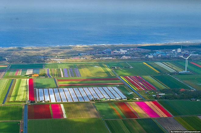 Полет над цветущими голландскими полями