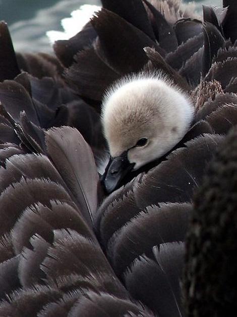 Нежные фотографии с лебедем