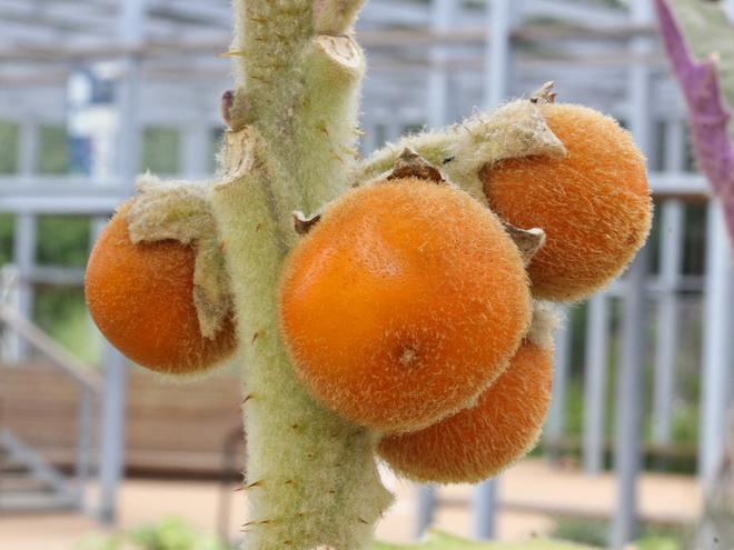 Гурман-тур экзотические фрукты. Луло