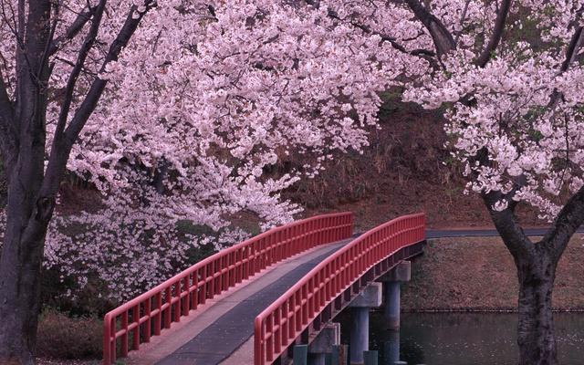 Цветущее дерево и мост