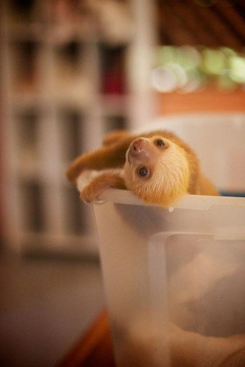 Новорождённый няшный ленивец