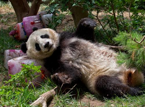 Панда после дня рождения