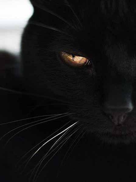 Магический взгляд черных кошек