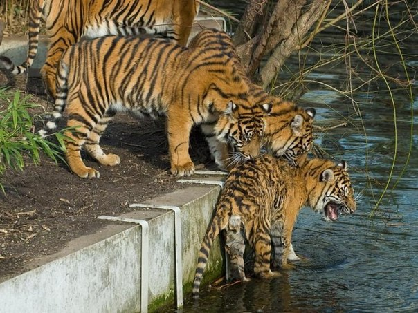 Два тигра пытаются заставить помыться третьего