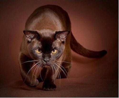 Невероятная Богиня ночи. Бурманская кошка