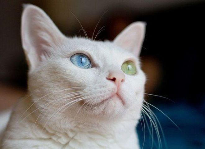 Уникальная красота животных с гетерохромией