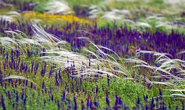 Поле цветущего ковыля в Аскании-Новой
