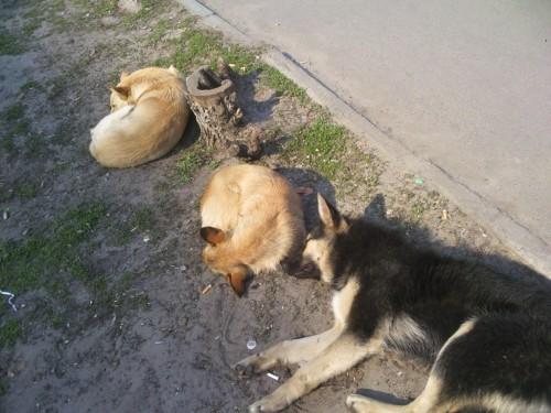 как собаки спят