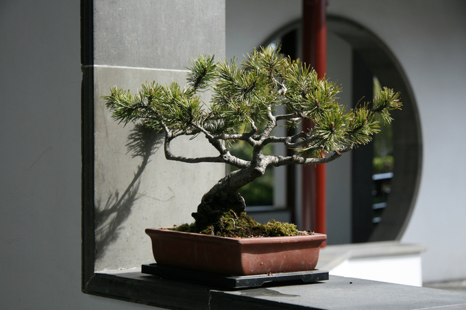 Дерево бонсай