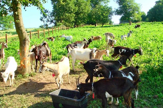 Козья ферма под Львовом