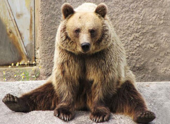 Ведмедиця-йога