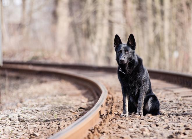 Сердце друга: пес ждет предавшего хозяина на железнодорожных рельсах