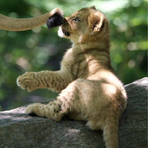 Львята няшки