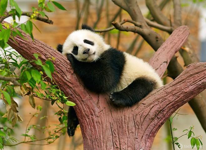 Веб-камеры и панды